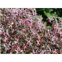 Dreiblattspiere 'Pink Profusion', Gillenia trifoliata 'Pink Profusion', Topfware