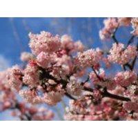 Blütensträucher und Ziergehölze - Duft-Schneeball, 40-60 cm, Viburnum farreri, Containerware