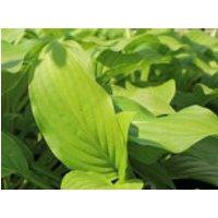 Duftende Herzblattlilie, Hosta plantaginea, Topfware