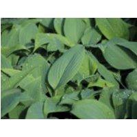 Gehölzrand - Duftende Lilien-Funkie 'Fragrant Blue', Hosta plantaginea 'Fragrant Blue', Topfware