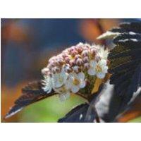 Blütensträucher und Ziergehölze - Dunkelrote Blasenspiere 'Diabolo', 100-150 cm, Physocarpus opulifolius 'Diabolo', Containerware