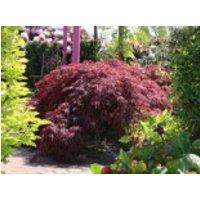 Dunkelroter Schlitzahorn 'Garnet', 30-40 cm, Acer palmatum 'Garnet', Containerware