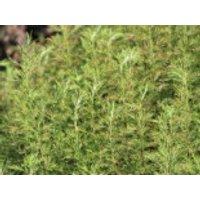 Eberraute, Artemisia abrotanum, Topfware