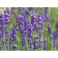 Echter Lavendel, 10-15 cm, Lavandula angustifolia, Containerware