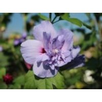 Blütensträucher und Ziergehölze - Echter Roseneibisch 'Blue Chiffon', 20-30 cm, Hibiscus 'Blue Chiffon', Containerware