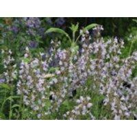 Echter Salbei / Apotheker Salbei / Gewürz-Salbei, Salvia officinalis, Containerware