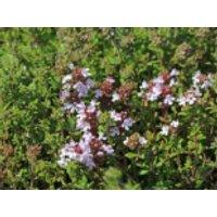 Echter Thymian, Quendel, Thymus vulgaris, Containerware
