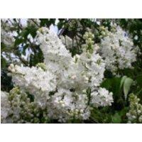 Blütensträucher und Ziergehölze - Edelflieder 'Mme Lemoine', 125-150 cm, Syringa vulgaris 'Mme Lemoine', Containerware