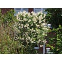 Blütensträucher und Ziergehölze - Edelflieder 'Primrose', 30-40 cm, Syringa vulgaris 'Primrose', Containerware
