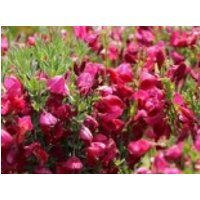 Edelginster 'Boskoop Ruby', 40-60 cm, Cytisus scoparius 'Boskoop Ruby', Containerware