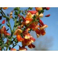 Blütensträucher und Ziergehölze - Edelginster 'Erlkönig', 40-60 cm, Cytisus scoparius 'Erlkönig', Containerware