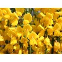 Blütensträucher und Ziergehölze - Edelginster 'Golden Tears', Stamm 50 cm, Cytisus scoparius 'Golden Tears', Stämmchen