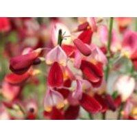 Blütensträucher und Ziergehölze - Edelginster 'Palette', 40-60 cm, Cytisus scoparius 'Palette', Containerware