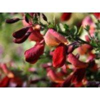 Blütensträucher und Ziergehölze - Edelginster 'Red Wings', 40-60 cm, Cytisus scoparius 'Red Wings', Containerware