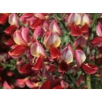 Blütensträucher und Ziergehölze - Edelginster 'Roter Favorit', 40-60 cm, Cytisus scoparius 'Roter Favorit', Containerware