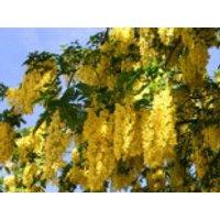 Blütensträucher und Ziergehölze - Edelgoldregen 'Vossii', 100-125 cm, Laburnum watereri 'Vossii', Containerware