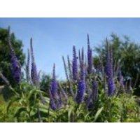 Ehrenpreis 'Blauriesin', Veronica longifolia 'Blauriesin', Topfware