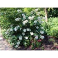 Blütensträucher und Ziergehölze - Eichenblättrige Hortensie 'Alice', 15-20 cm, Hydrangea quercifolia 'Alice', Containerware