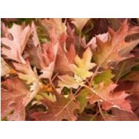 Blütensträucher und Ziergehölze - Eichenblättrige Hortensie 'Ice Crystal' ®, 20-30 cm, Hydrangea quercifolia 'Ice Crystal' ®, Containerware