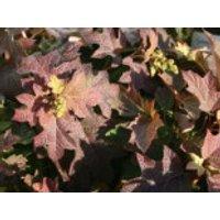 Blütensträucher und Ziergehölze - Eichenblättrige Hortensie 'Pee Wee', 30-40 cm, Hydrangea quercifolia 'Pee Wee', Containerware