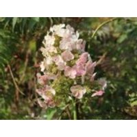 Blütensträucher und Ziergehölze - Eichenblättrige Hortensie 'Snow Queen', 30-40 cm, Hydrangea quercifolia 'Snow Queen', Containerware