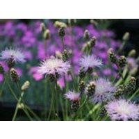 Einfache Kissen-Flockenblume, Centaurea simplicicaulis, Topfware