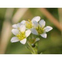 Elfenbein Steinbrech 'Alba', Saxifraga x apiculata 'Alba', Topfware
