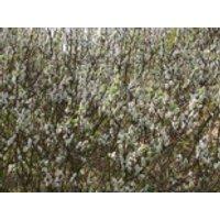 Engadin-Weide 'Wehrhahnii', 30-40 cm, Salix hastata 'Wehrhahnii', Containerware