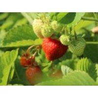 Erdbeere 'Honeoye', Fragaria 'Honeoye', Topfware