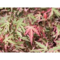 Fächer-Ahorn 'Taylor', 30-40 cm, Acer palmatum 'Taylor', Containerware