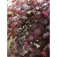 Fächer-Ahorn 'Yasemin', 20-25 cm, Acer shirasawanum 'Yasemin', Containerware