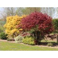 Fächerahorn im 2 Stück Sortiment - gelb und rot, 30-40 cm, Acer palmatum 'Atropurpureum' und 'Orange Dream' Paket, Containerware