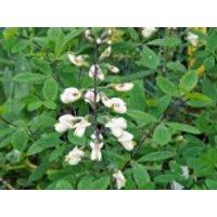Färberhülse, Baptisia alba var. alba, Topfware