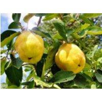 Familienbaum Quitte '2 verschiedene Sorten', Stamm 40-60 cm, 120-160 cm, Cydonia / Apfel- und Birnenquitte an einer Pflanze, Containerware