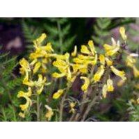 Farnblättriger Lerchensporn 'Manchu' ®, Corydalis cheilanthifolia 'Manchu' ®, Topfware