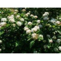 Fasanenspiere / Blasenspiere, 60-100 cm, Physocarpus opulifolius, Containerware
