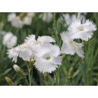 Feder-Nelke 'Albus', Dianthus plumarius 'Albus', Topfware