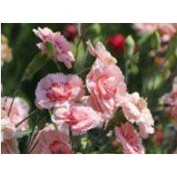 Feder-Nelke 'Doris', Dianthus plumarius 'Doris', Topfware