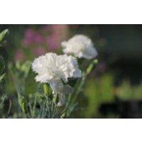 Feder-Nelke 'Haytor White', Dianthus plumarius 'Haytor White', Topfware