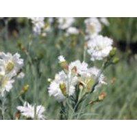 Feder-Nelke 'Maischnee', Dianthus plumarius 'Maischnee', Topfware