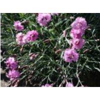 Feder-Nelke 'Roseus', Dianthus plumarius 'Roseus', Topfware