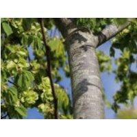 Feldulme, 80-120 cm, Ulmus carpinifolia, Containerware