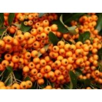 Feuerdorn 'Orange Charmer', 40-60 cm, Pyracantha 'Orange Charmer', Containerware