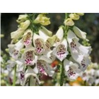 Fingerhut 'Dalmatian White', Digitalis purpurea 'Dalmatian White', Containerware