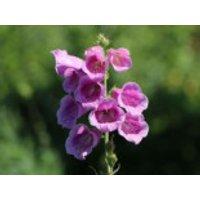 Fingerhut 'Gloxiniaeflora', Digitalis purpurea 'Gloxiniaeflora', Topfware