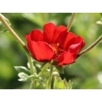 Fingerkraut 'Gibson's Scarlet', Potentilla atrosanguinea 'Gibson's Scarlet', Topfware
