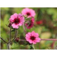 Fingerkraut 'Miss Willmott', Potentilla nepalensis 'Miss Willmott', Topfware