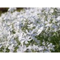 Flammenblume 'May Breeze', Phlox divaricata 'May Breeze', Topfware
