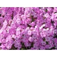 Flammenblume 'Rosalinde', Phlox maculata 'Rosalinde', Topfware