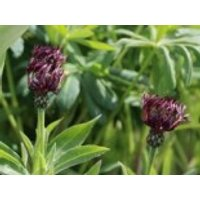 Flockenblume 'Jordy', Centaurea montana 'Jordy', Topfware